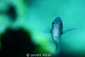 Damsel Fish by Levent Albas