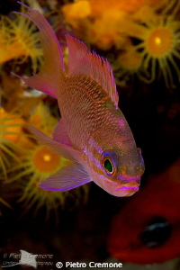Female Anthias by Pietro Cremone