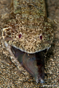 Lizardfish & its newly caught meal by William Loke