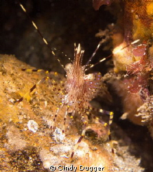 Coonstripe shrimp (Pandalus danae) showing that it was wi... by Cindy Dugger