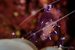 Sarasvati Anemone Shrimp@Lembeh Strait by Sherry Hsu