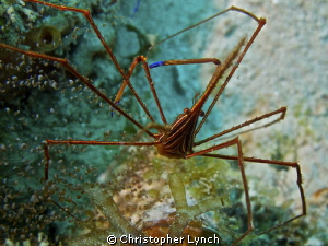 arrow crab by Christopher Lynch