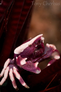 Purple Urchin Crab: No crop by Tony Cherbas