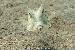 longhorn cowfish What the hell are you looking at? 'Was... by Hans-Gert Broeder