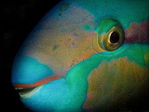Scarus cf. tricolor (close up during night dive) by Alex Varani