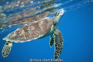 Green Turtle, even her need air sometimes, www.bunakenh... by Hans-Gert Broeder
