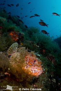 Scorpionfish by Pietro Cremone