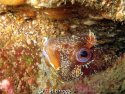 Peek a boo Tompot Blenny on the wreck of the James Eagan... by Cat Briggs