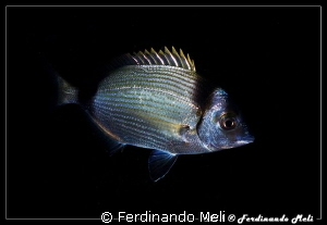 Night camouflage (Diplodus vulgaris). No Photoshop. by Ferdinando Meli