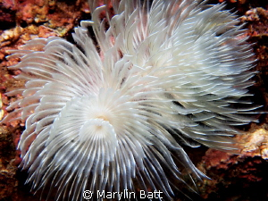 Tube worm fully open. by Marylin Batt