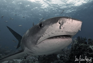 Tiger Sharks are amazing !!! Tigers move very slow and ca... by Steven Anderson