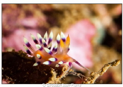 A small nudi shooted in Bunaken. 105 mm macro by Giroudon Jean-Pierre