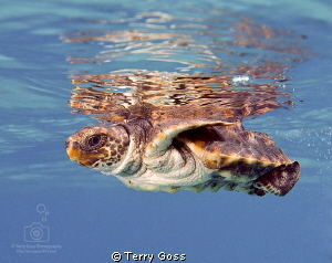 Baby turtle release! A baby loggerhead turtle (Caretta ca... by Terry Goss