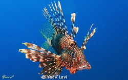 Lionfish by Yoav Lavi