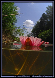 Pink Water Lilly...... :O)... by Michel Lonfat