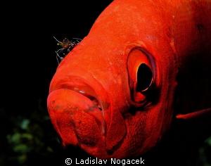 cleaner shrimp by Ladislav Nogacek