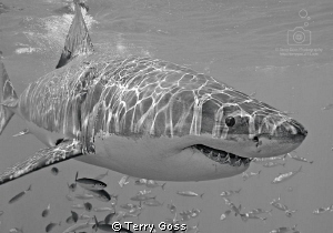 A young white shark (Carcharodon carcharias) frolics in t... by Terry Goss