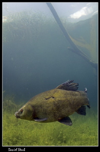 Tench in a small pond :-D by Daniel Strub