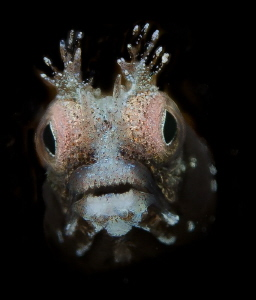 spiny head blenny by Leena Roy