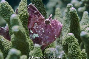 Leaf Scorpionfish  Labyrinth again?  www.bunakenhans.co... by Hans-Gert Broeder
