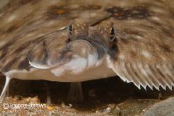 Flatfish by Spencer Burrows