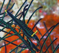 Crinoid shrimp from Mabul. Nik D70, 105mm lens, and Inon ... by Beverly Speed