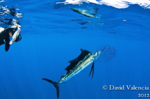 This diver and I watched numerous sailfish and even strip... by David Valencia