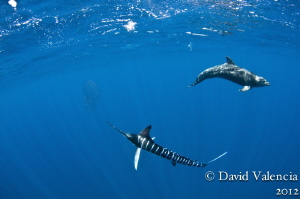 This striped marlin and dolphin tag-teamed the bait until... by David Valencia