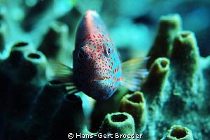 Freckled Hawkfish Nuclear Ghost  Bunaken, Sulawesi, Ind... by Hans-Gert Broeder