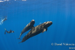 These are false killer whales that frequent isla san bene... by David Valencia