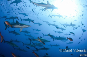 This school of silky sharks stuck around roca partida for... by David Valencia