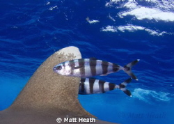 Oceanic White Tip Fin with Pilot Fish by Matt Heath
