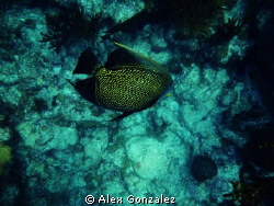 French Angel fish at Loe Key Reef in the Florida Keys by Alex Gonzalez