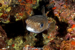 Puffer against the colorful Hawaiian reef.  by Stuart Ganz