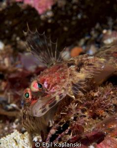 Phronorhombus norvegicus, a small flounder well camouflag... by Egil Kaplanski