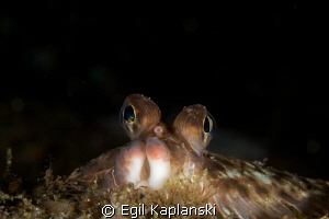 Microstomus kitt. Aflounder with a good view by Egil Kaplanski