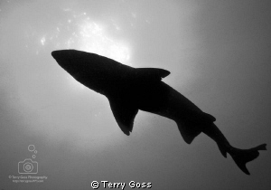"""Ghosts of the Old Gods"" - the sand tiger sharks (Carchar... by Terry Goss"