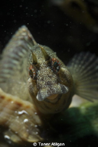 aggressive blenny in the shell by Taner Atilgan