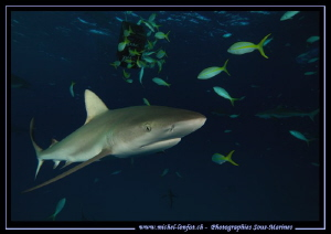 Reef shark on the move.... ;O)... by Michel Lonfat