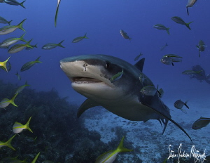 Tiger Sharks and Reef Sharks made a lot of action at Gino... by Steven Anderson