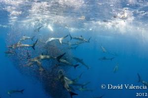 Baitball action with silky sharks and yellowfin tuna. by David Valencia