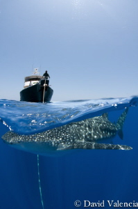 Whale shark swimming circles around our boat one magical ... by David Valencia