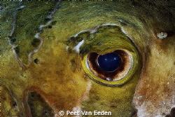 The eye of a shortspine porcupinefish by Peet Van Eeden