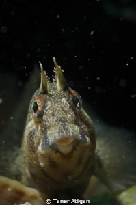Hi Blenny! (low visibility in Marmara Sea, even the snoot... by Taner Atilgan