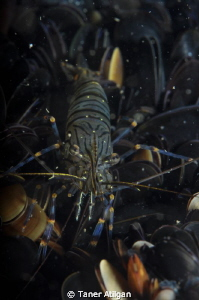 Shrimp on mussels (: (external focus light is a must, bui... by Taner Atilgan