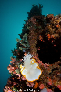 Nudibranch on the wreck, taken with Tokina 10-17mm, x1.4... by Iyad Suleyman