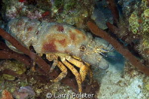 Slipper Lobster is usually out at night, but this one mad... by Larry Polster