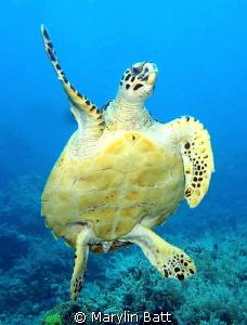 Hawksbill turtle swimming right toward me. by Marylin Batt