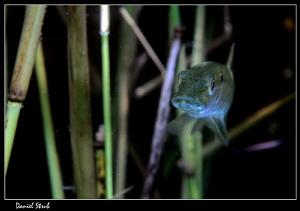 Young pike in the reeds :-D - he was hinding and hunting ... by Daniel Strub