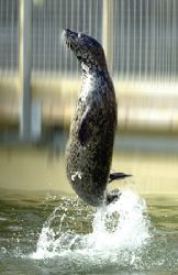 Common Seal. Taken in a seal sanctuary, injured seals are... by Grant Kennedy
